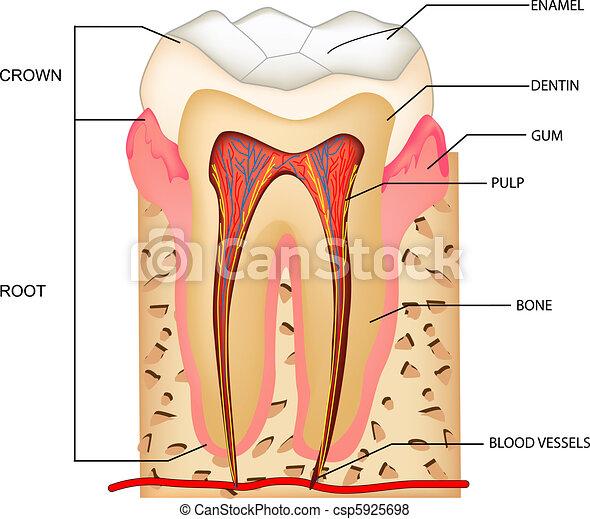 Anatomía de dientes - csp5925698