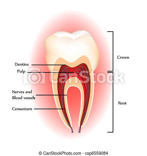 Anatomía de dientes - csp6559084