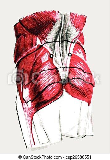 Anatomía, espalda. Anatomía, más bajo, músculos, pencil., mano ...