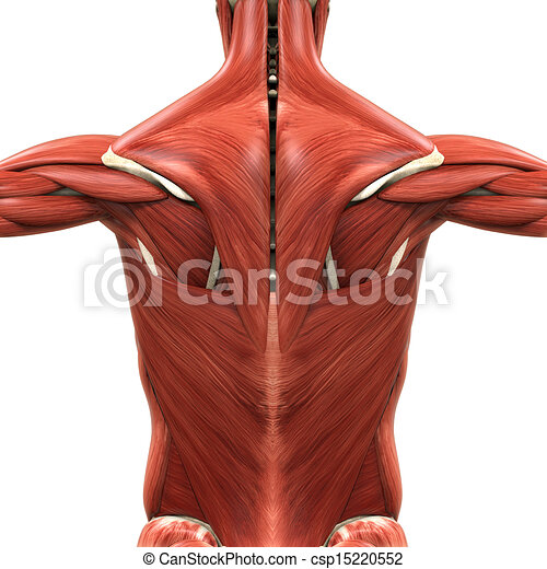 Anatomía, espalda, muscular. Anatomía, render, ilustración, back ...