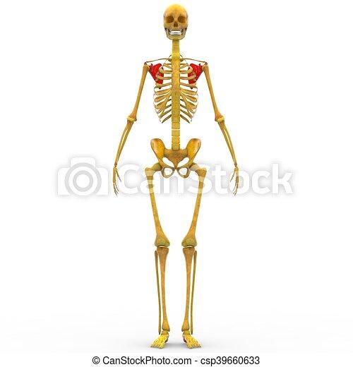 Anatomía, esqueleto, humano. Anatomía, esqueleto humano,... dibujos ...