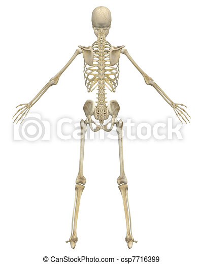 Anatomía, esqueleto humano, vista trasera. Educativo, anatomy., muy ...