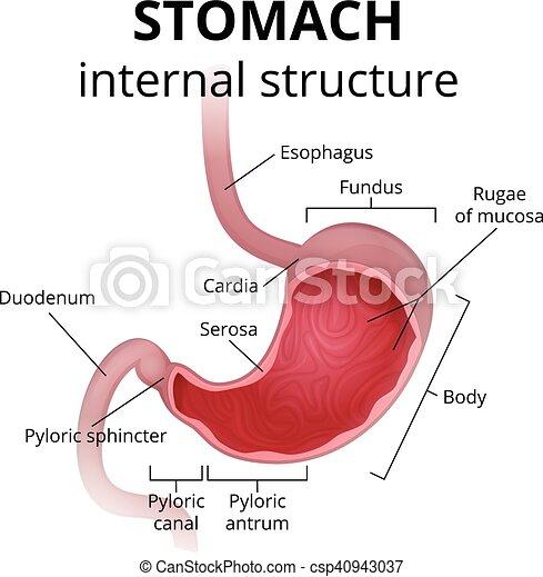Anatomía, estómago, humano. Detallado, cartel, médico, estómago ...