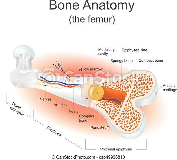 Anatomía, femur), (the, hueso. Información, gráfico, body.,... clip ...