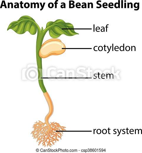 Anatomía, frijol, gráfico, planta de semillero. Anatomía, frijol ...