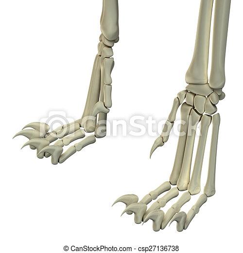 Anatomía, huesos, gato, piernas, trasero.
