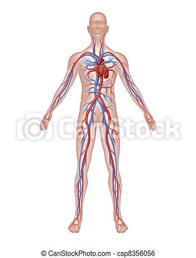 anatomía, humano, circulación - csp8356056