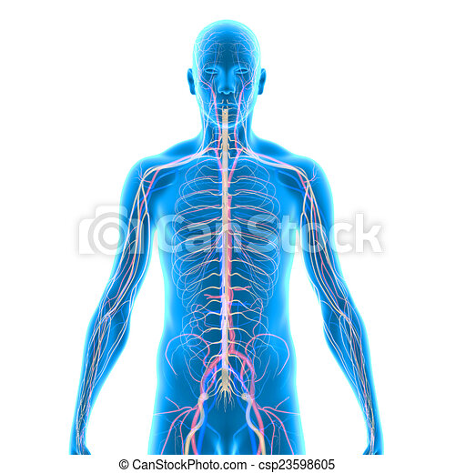 Anatomía, humano. Anatomía, sciencepics., humano, colección ...