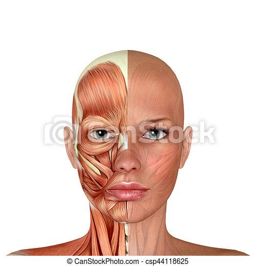 Músculos de cabeza, cara, anatomía, modelo, 3d.