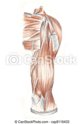 Anatomía, músculos, -, brazo, humano. Anatomía, lápiz, bosquejo, humano.