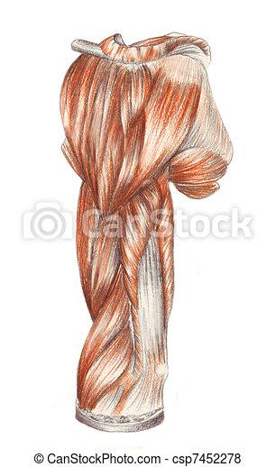 Anatomía, músculos, -, brazo, humano. Anatomía, bosquejo, coloreado ...