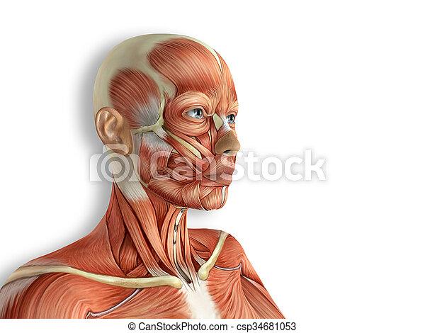 Anatomía, músculos, cara femenina. Músculos, ilustración, cara ...