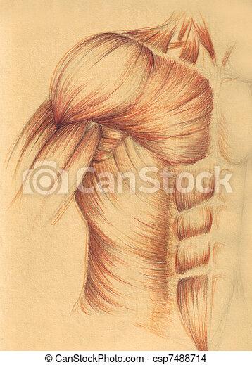 Anatomía, músculos, -, ches, humano. Anatomía, bosquejo, realized ...