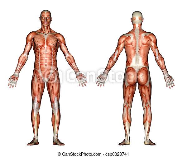 Anatomía, músculos. Rendido, actuación, espalda, ilustración ...