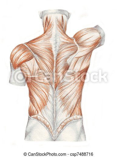 Anatomía, músculos, -, espalda, humano. Anatomía, bosquejo, realized ...