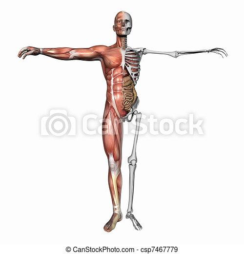 Anatomía, músculos, esqueleto. Skeleton., plano de fondo, aislado ...