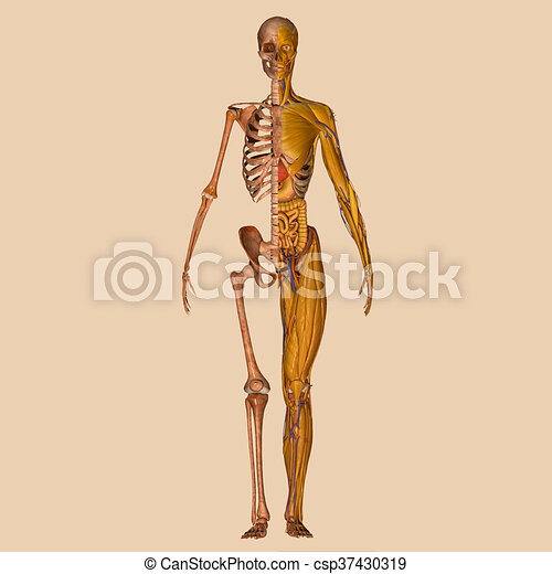 Anatomía, músculos, humano. Parts., uno, pasado, forma, tejido ...