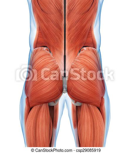 Anatomía, músculos, nalga. Músculos, illustration., render, nalga ...