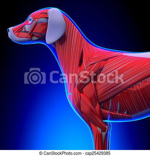 Anatomía, músculos, -, perro, macho.