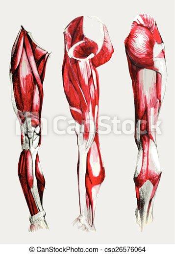 Anatomía, músculos, pierna, set., mano, acuarela, dibujado, pencil.