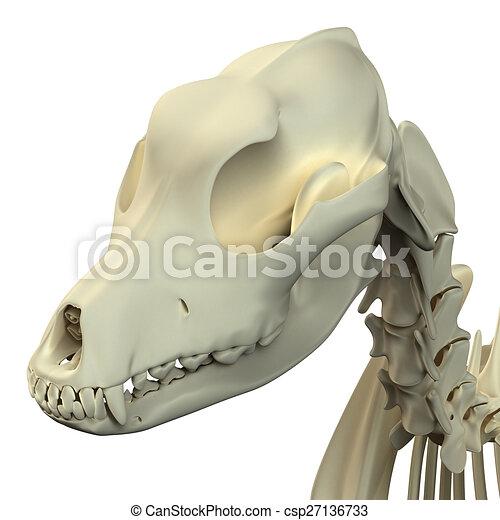 Anatomía, macho, -, perro, cráneo.