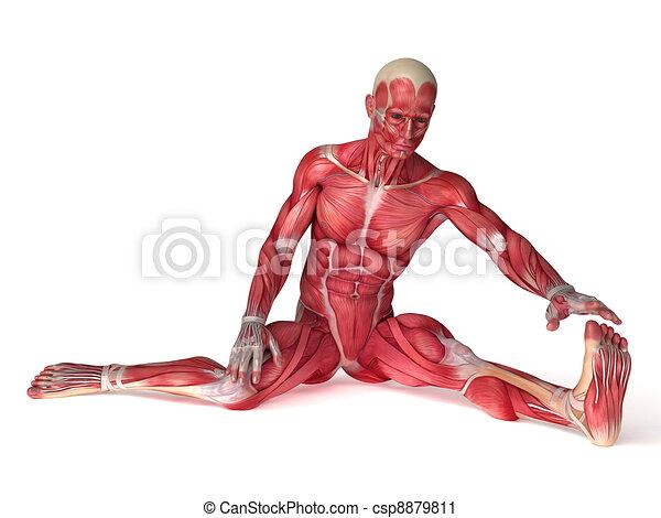 Anatomía, machos, músculos. Rendido, científico, machos, ilustración ...