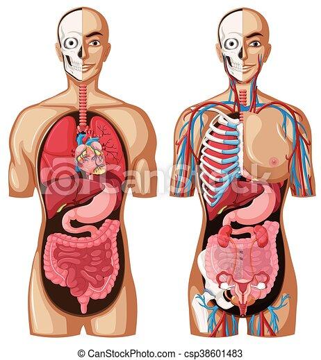 Anatomía, modelo, diferente, sistemas, humano. Diferente ...