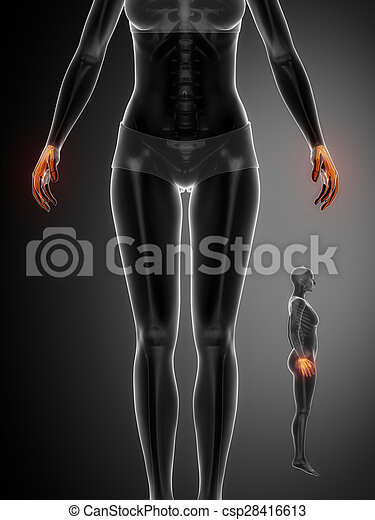 Anatomía, muñeca, hueso, radiografía, exploración.