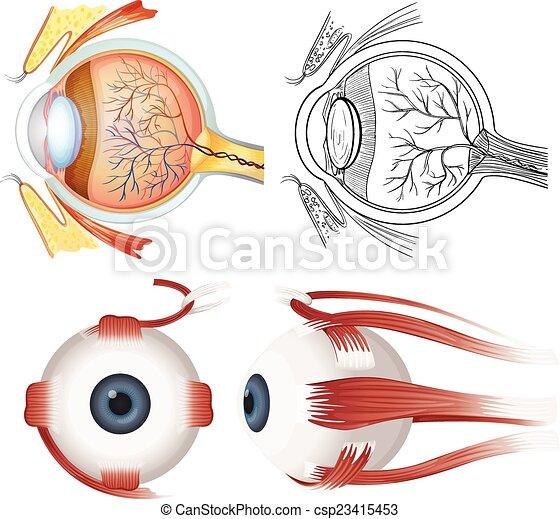 Anatomía, ojo. Anatomía, blanco, ojo, humano, plano de fondo.