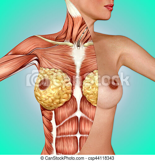 Anatomía, pecho, hembra, 3d.