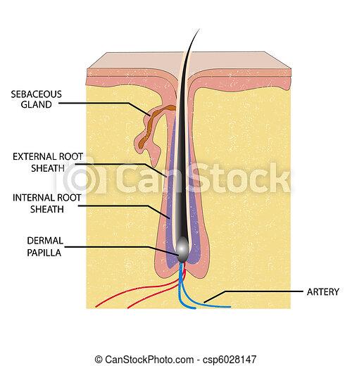 Anatomía, pelo. Anatomía, ilustración, etiqueta, pelo, plano de ...