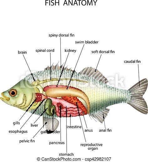 Anatomía, pez, vector, ilustración.
