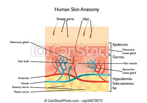 Anatomía, piel humana. Detallado, piel, -, ilustración ...