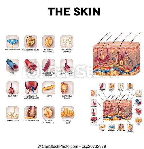 Anatomía, piel. Detallado, hermoso, illustration., músculo, sensorio ...