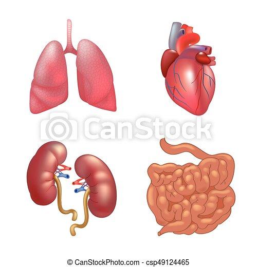 Anatomía Realista Conjunto órganos Humano Conjunto Intestino