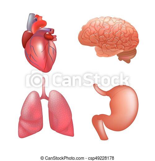 Anatomía Realista Conjunto órganos Humano Partes Conjunto