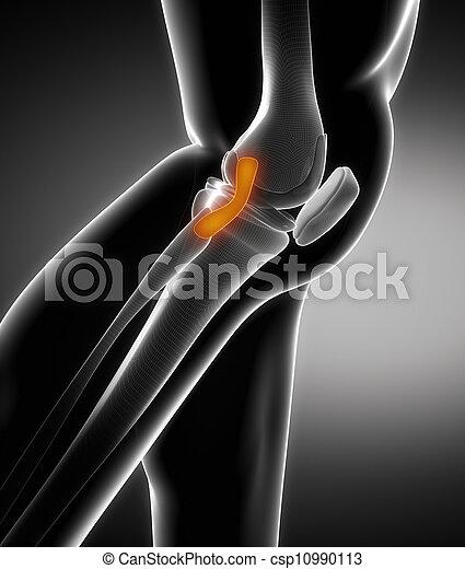 Anatomía, rodilla, ligamento.