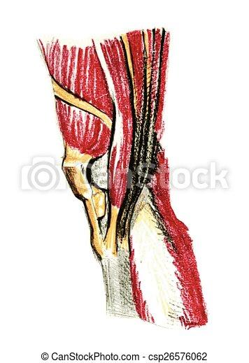 Anatomía, rodilla, músculos. Anatomía, músculos, pencil.,... vector ...