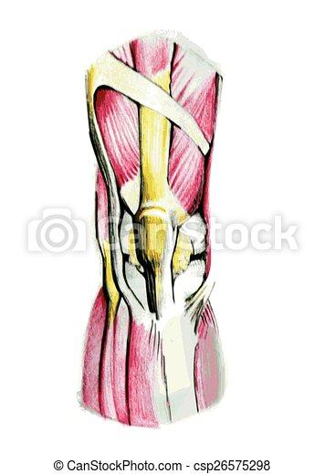 Anatomía, rodilla, músculos. Anatomía, músculos, pencil., mano ...