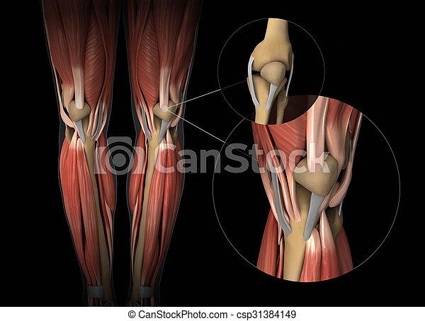 Anatomía, rodilla, tendón, músculo, cartílago.
