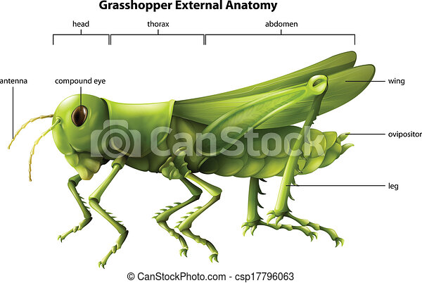 Anatomía, saltamontes, externo. Anatomía, actuación, saltamontes ...