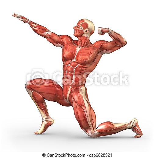 Anatomía, sistema, muscular, hombre. Anatomía, músculo, humano.