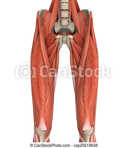 Anatomía, superior, músculos, piernas. Superior, músculos ...