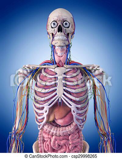 Anatomía, tórax. Anatomía, medically, exacto, tórax, ilustración.