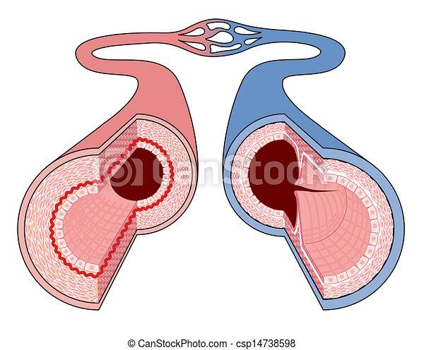 Anatomía, vasos sanguíneos. Vasos capilares, naves, anatomía, por ...