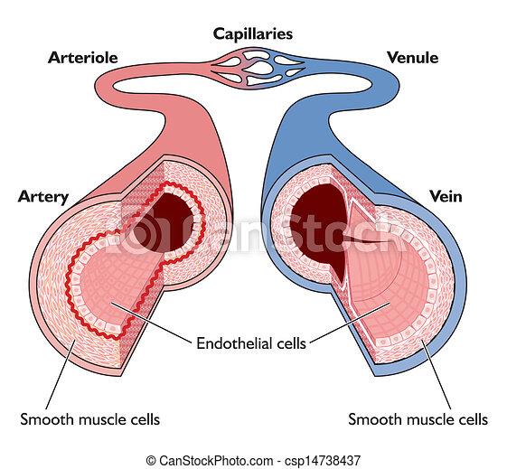 Anatomía, vasos sanguíneos. Vasos capilares, --, naves, anatomía ...