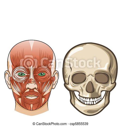 Anatomía, vector, facial, cráneo, humano.