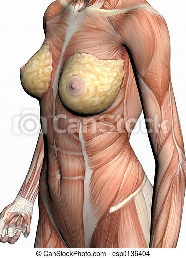 Anatomía, woman. Showing., músculos, cuerpo, render, ilustración ...