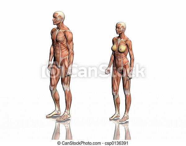Anatomía, woman., hombre. Showing., músculos, cuerpo, render ...