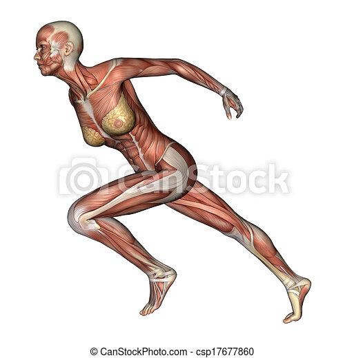 løb og anatomi